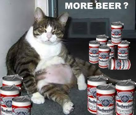 more beer   funny fat cat drinking beer   commentphotos