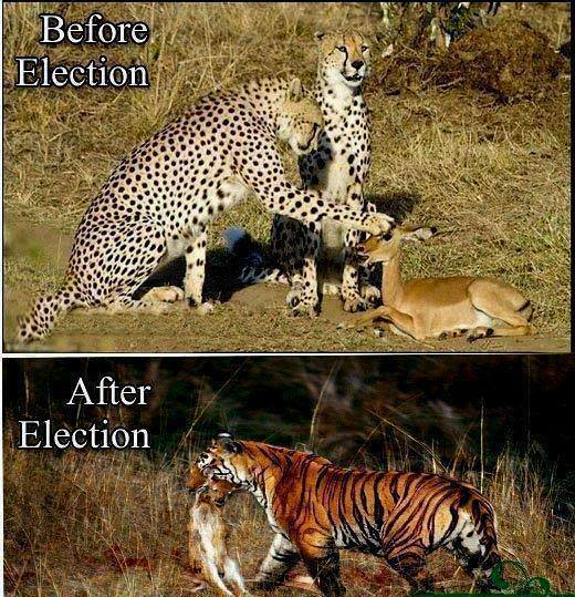 Before Election and After Election - Leopard, Tiger Killing and Eating