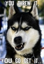 You Threw It You Go Get It - Wolf, Dog Angry