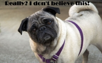 Really I Dont Believe This - Pug Dog Wondering